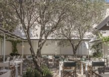 50-year-old-Olive-tree-for-the-garden-sitting-area-217x155