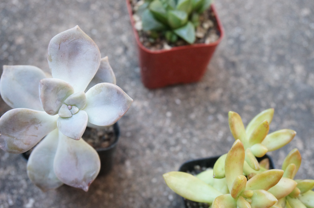 Choose a range of colors when selecting succulents