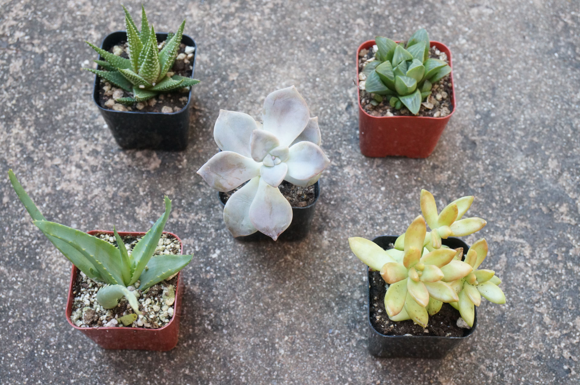 Choosing succulents with a variety of colors