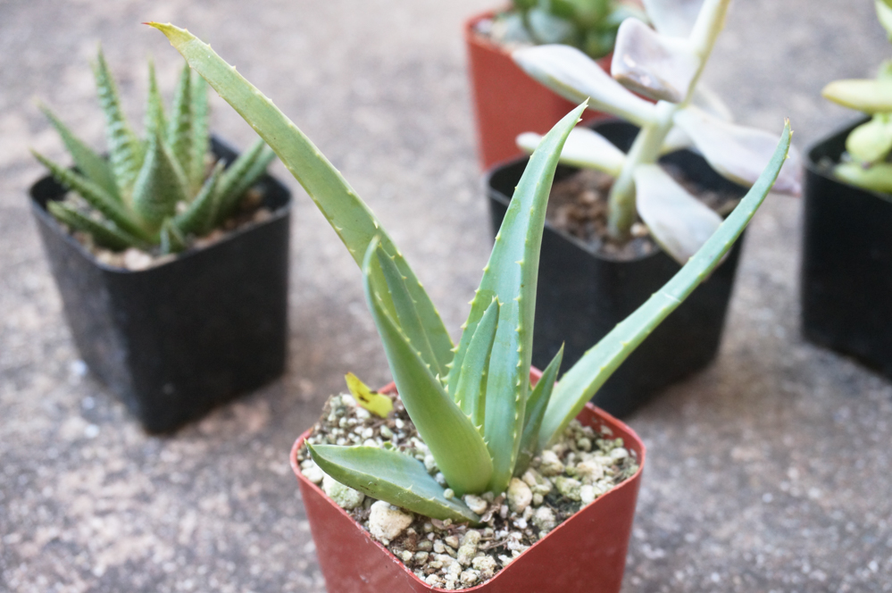 Selections such as aloe add height to your succulent garden