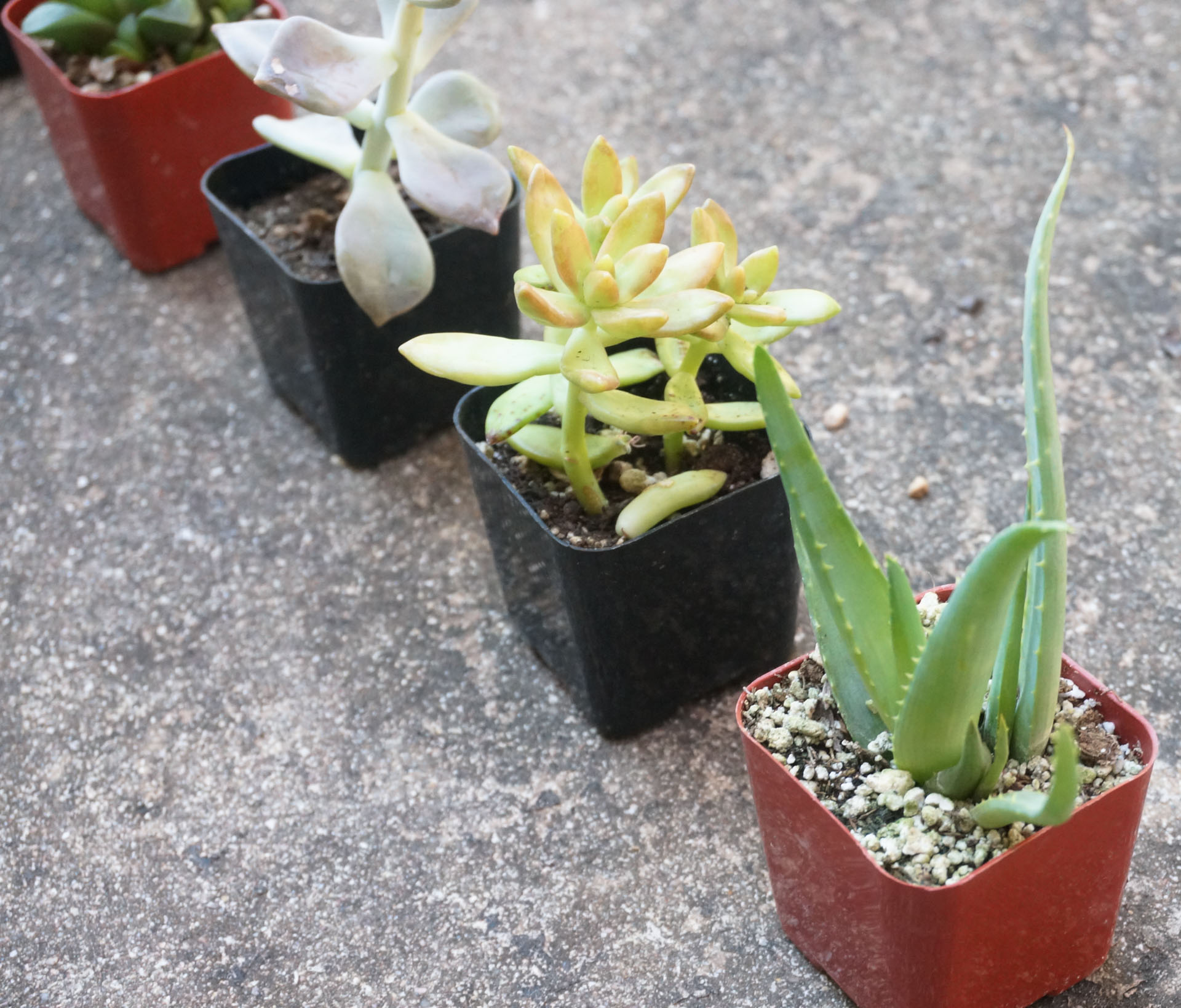 Succulents in tiny planters