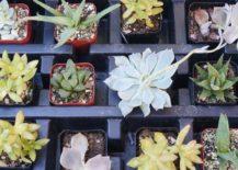 Tiny-succulents-ready-to-plant-217x155