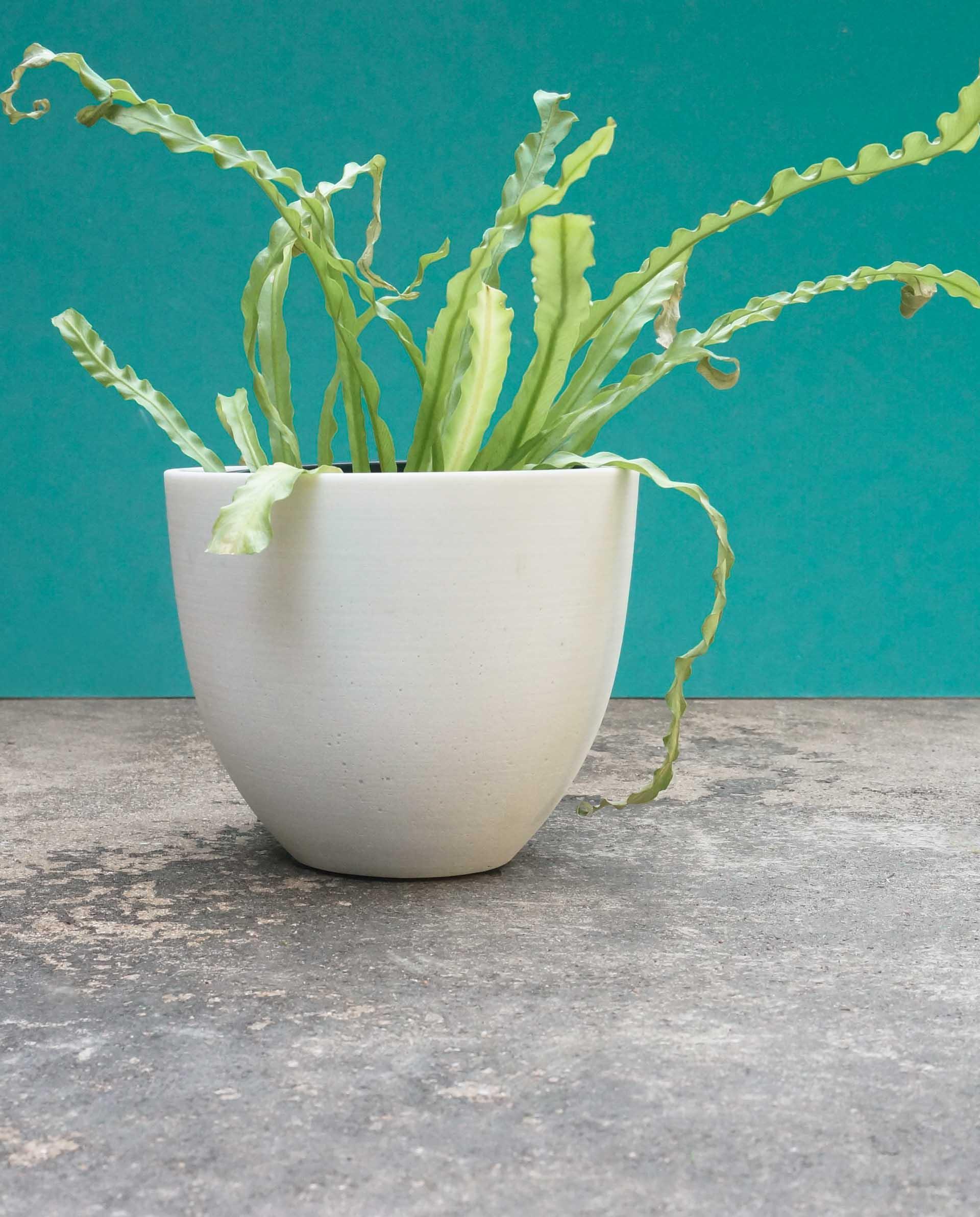 Birds-nest-fern-houseplant