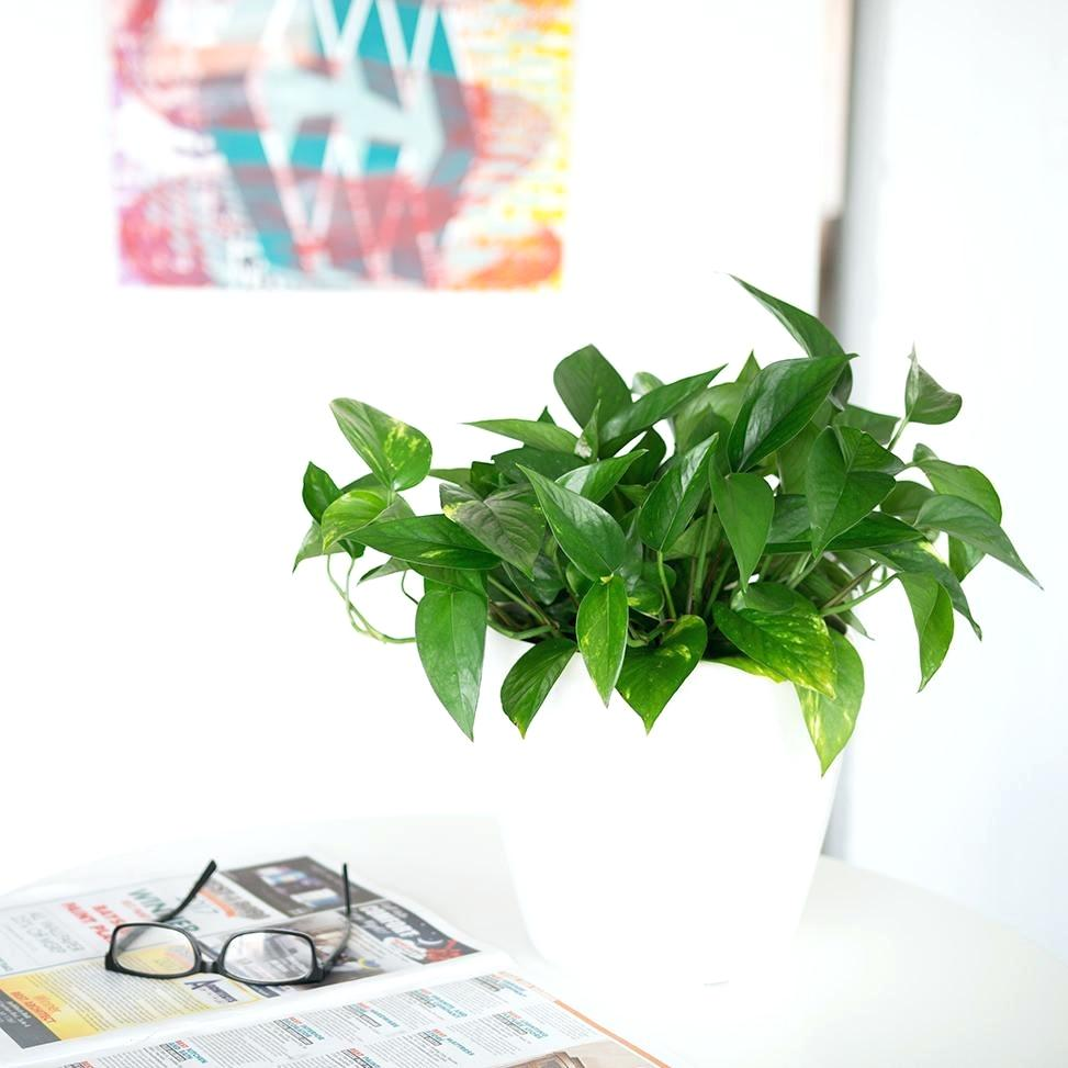 Pothos-can-tolerate-lower-light-settings