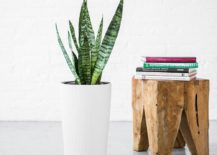 Snake-plant-in-a-tall-planter-217x155