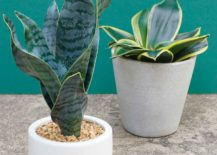 Snake-plants-faux-and-real-217x155