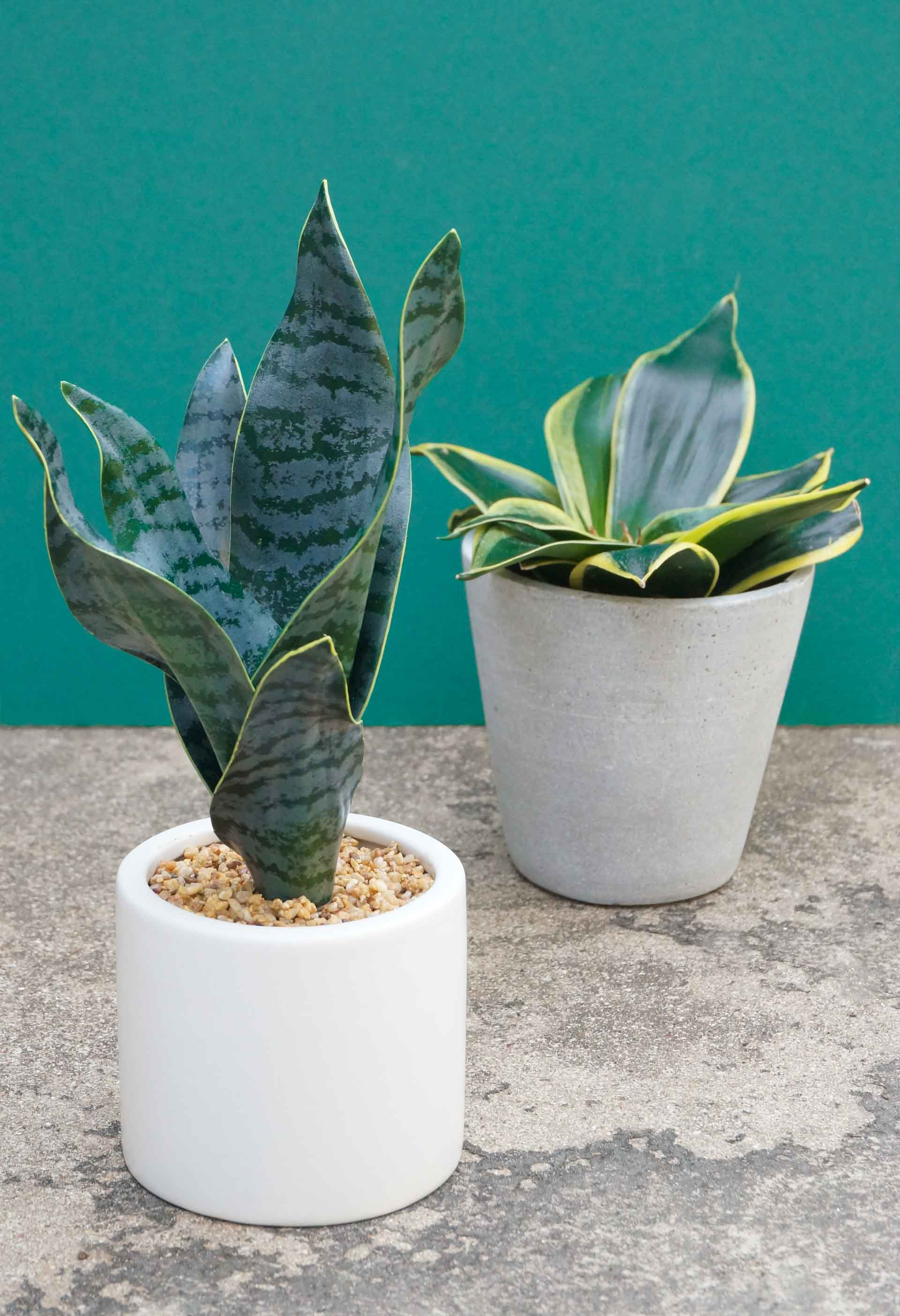 Snake-plants-faux-and-real