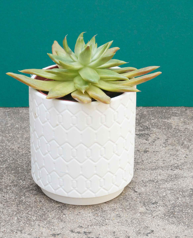 Succulent-houseplant-in-a-modern-pot