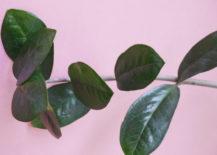 ZZ-plant-houseplant-217x155