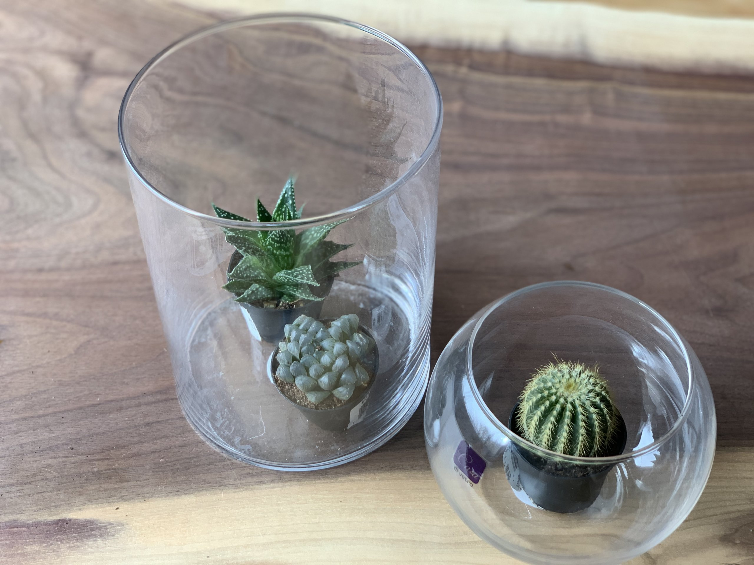 Succulent plants in glass jars
