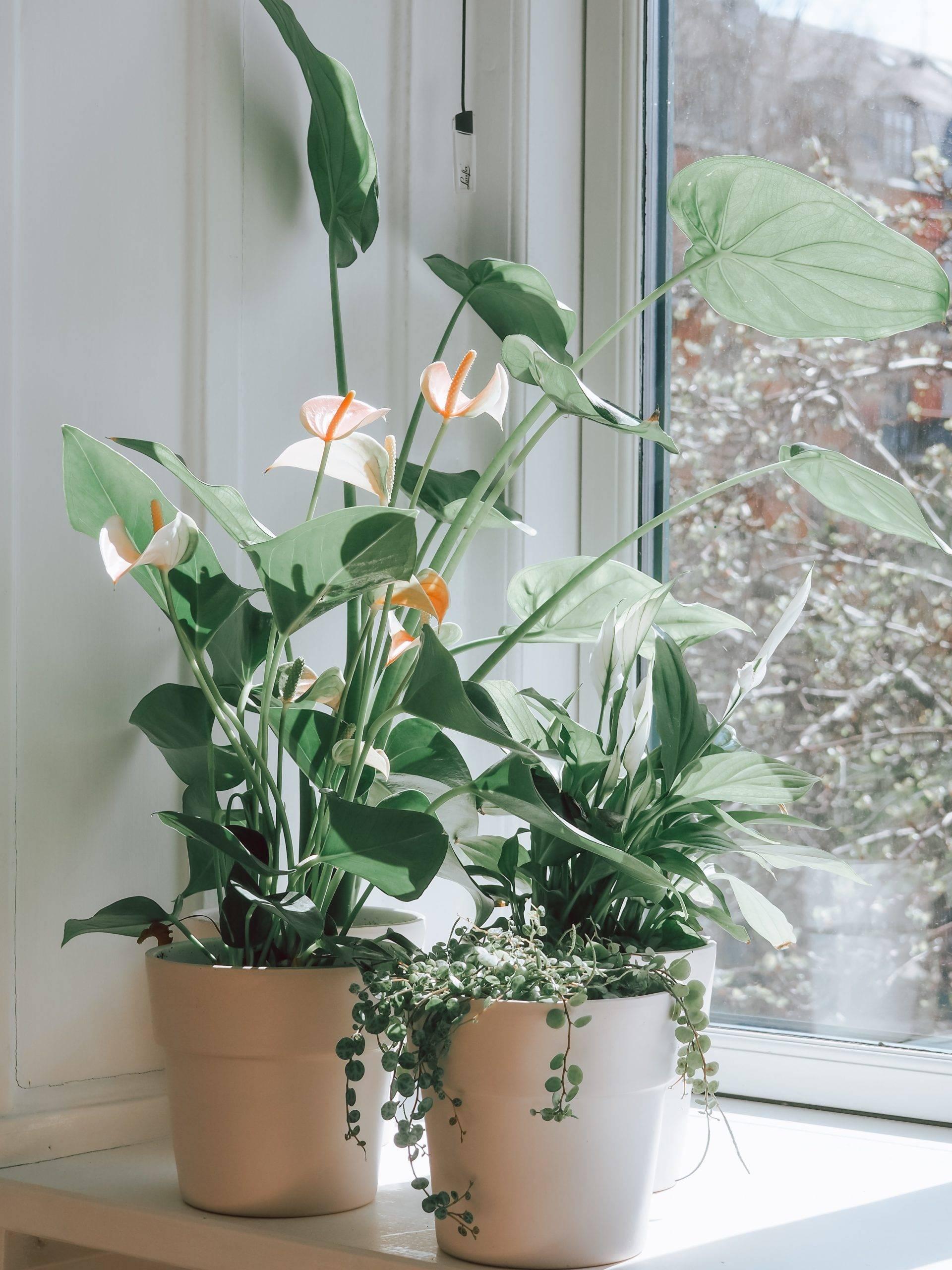 peace lily on windowsil