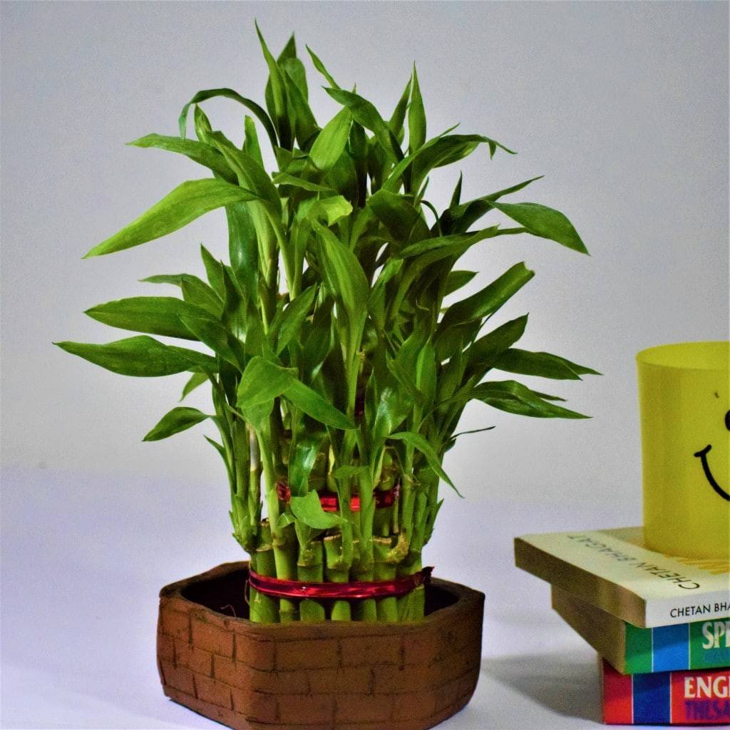 lucky bamboo with red tie