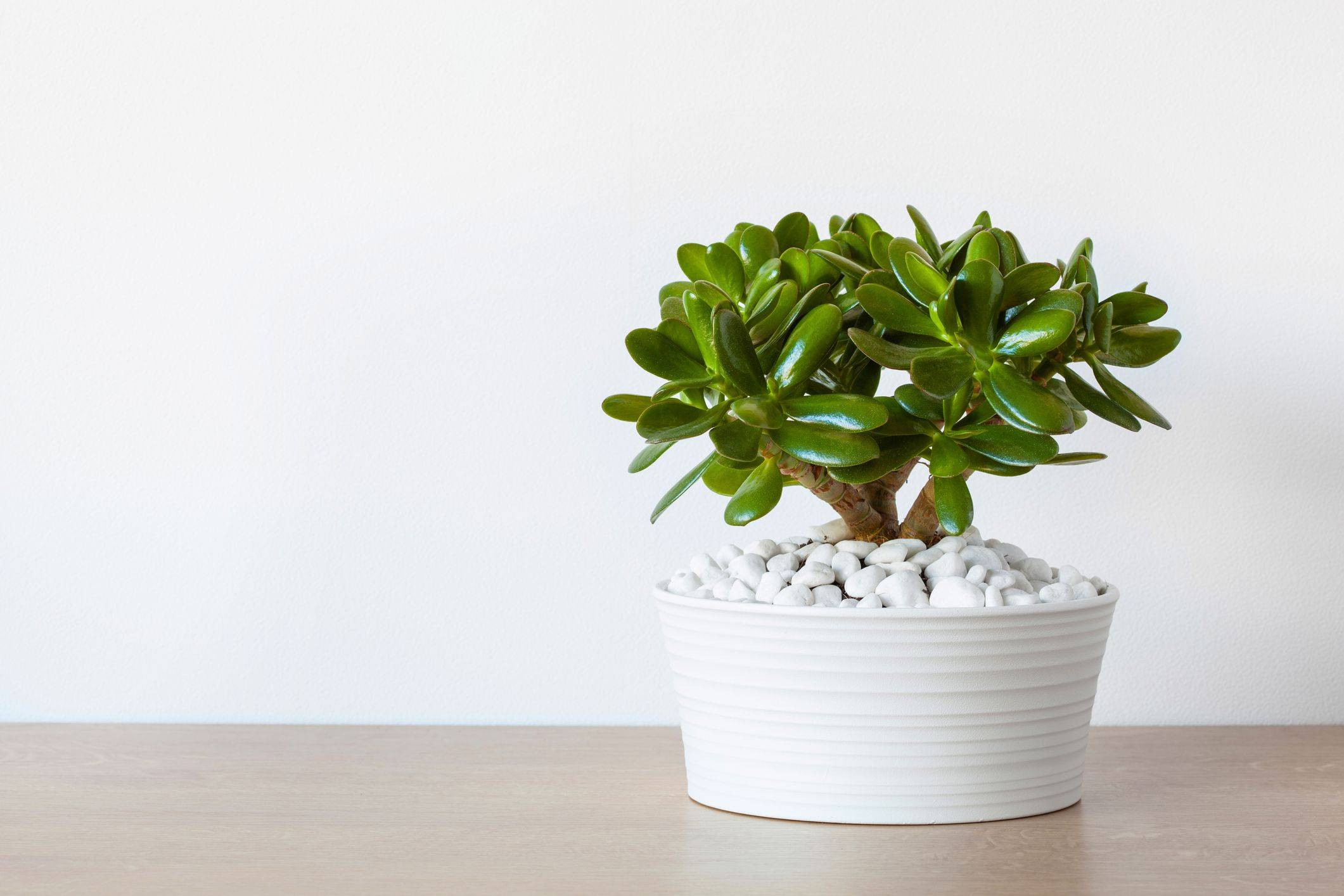 jade plant in white pot with white stones
